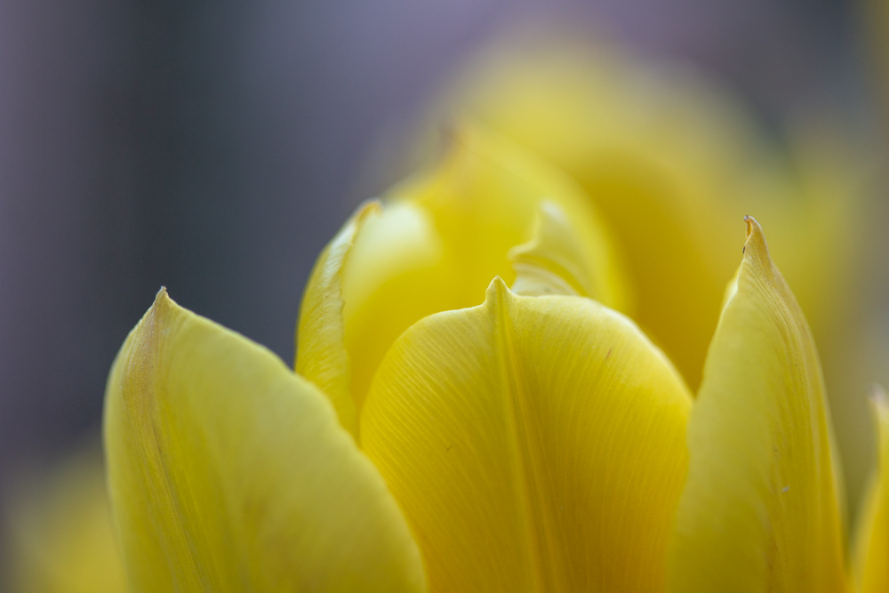 Yellow Tulips (2)