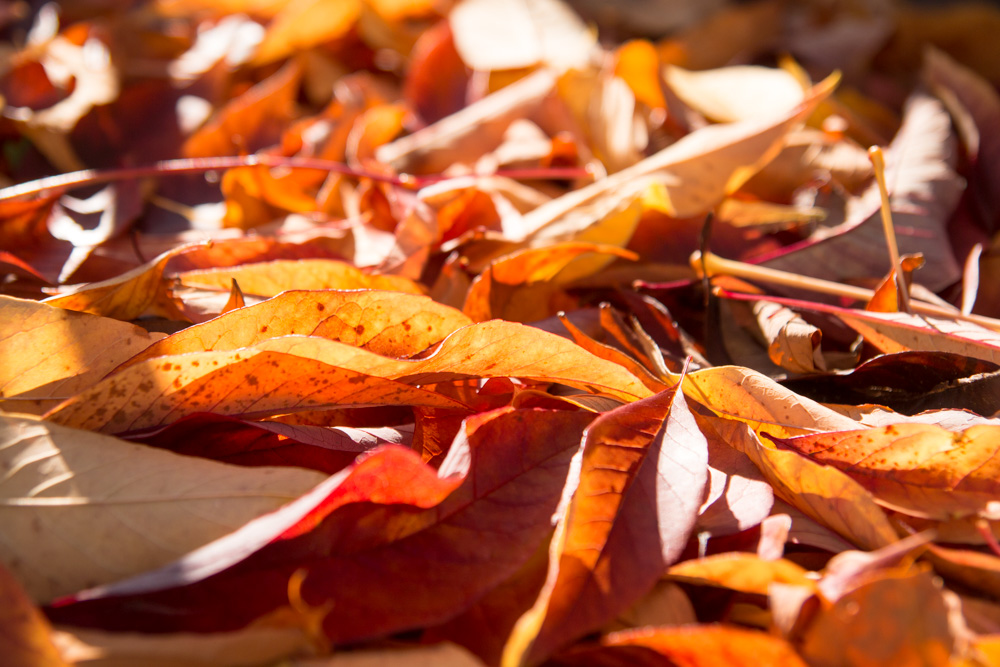 Autumn Leaves (7)