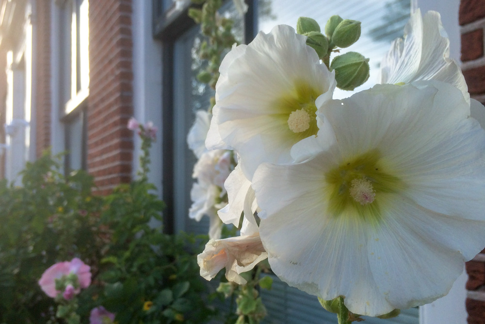 Common Hollyhock (2)