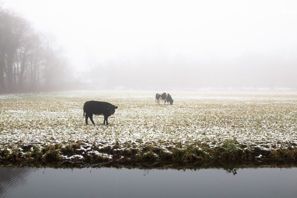 Cows in the Snow (2)
