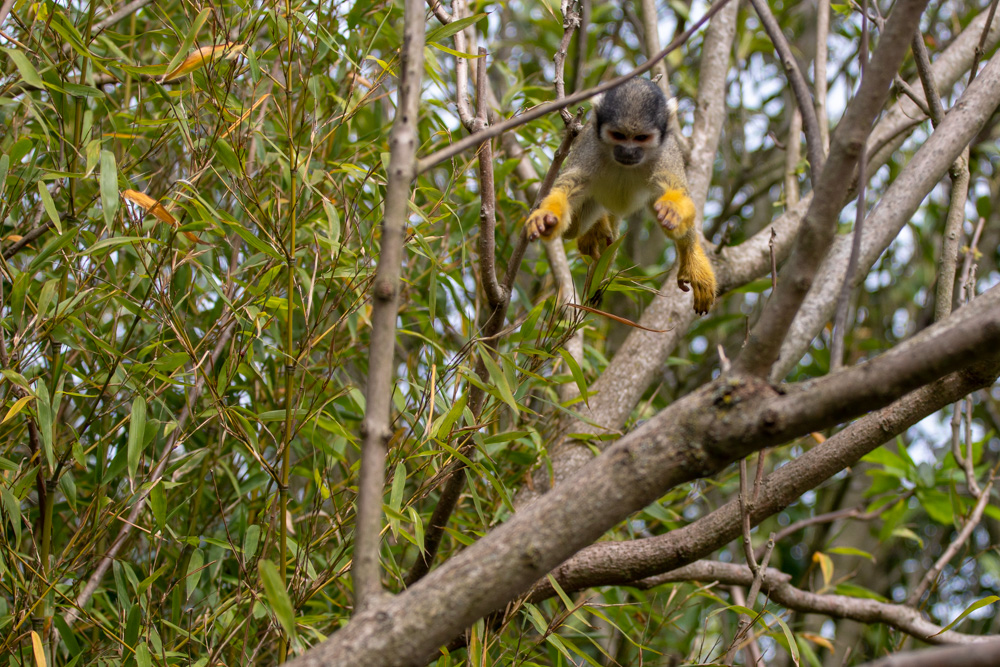 Flying Squirrel Monkey