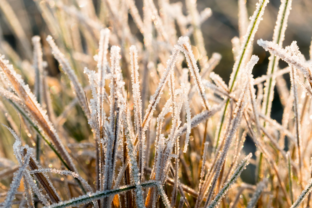 Frozen Grass (2)