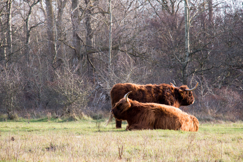 Highland Cows (3)