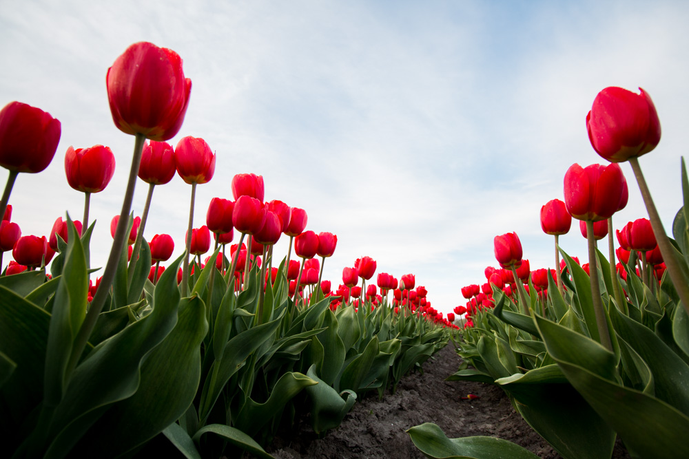 Red Tulips (2)