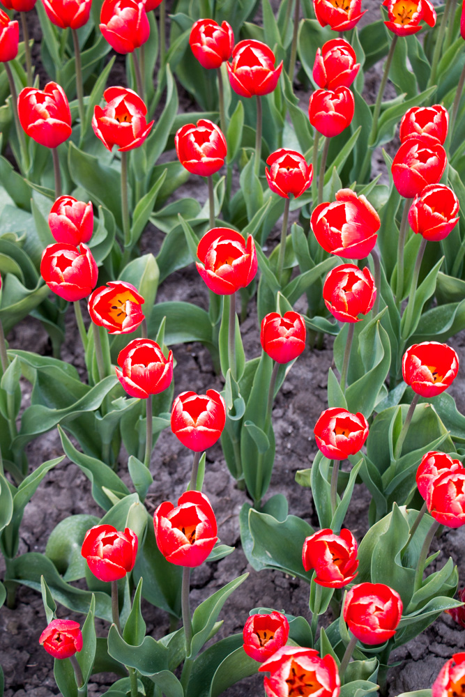 Red Tulips (3)