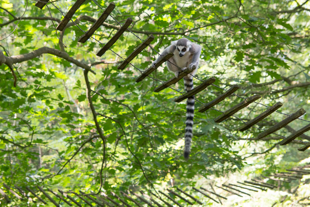 Ring Tailed Lemur (2)