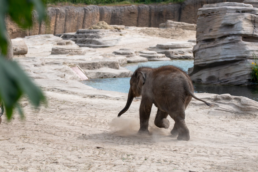 Running Young Elephant